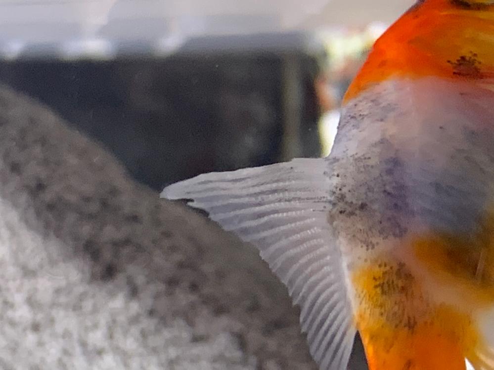 最近金魚の背鰭がギザギザしています。 これは尾ぐされ病なのでしょうか?