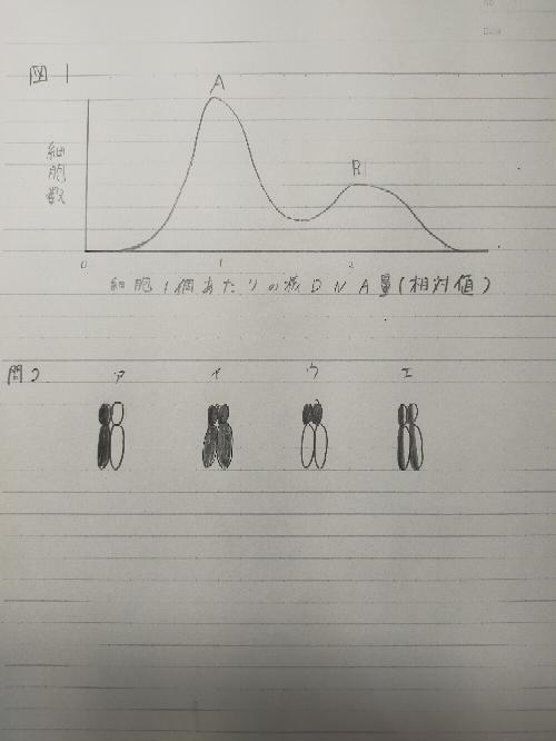 生物基礎 遺伝子の働き さっぱりわかりません。解説していただけると嬉しいです! 図は下にあります。 細胞周期に関する次の文を読み、以下の問いに答えよ。 植物の根の先端部には細胞分裂の頻度の高い分裂組織と呼ばれ る部分がある。この分裂組織の細胞をDNAに特異的に結合する 色素で染色し、染色強度を測定することにより、 同時期の細胞 1個あたりの核に含まれる DNA量を調べた。 横軸に核DNA量をとり、それぞれの核DNA量に対応する細胞数を縦軸に表したグラフが図1である。 DNA量の相対値が1と2 のところに細胞数のピークが見られる。 これらのピークをそれぞれピークAおよびピーク B と呼ぶ。 次に、根の分裂組織を用いて以下の実験を行った。 【実験3]根を3H-チミジンを含む培地に20分間浸し、水で十分洗ってから3H-チミジンを含まない培地に移した。 一定時間ごとに培地から取り出して核や染色体の標本を作製し、 放射能の有無を調べた。 なお、チミジンは培地に加えられると細胞に取り込まれ DNAの成分として利用される。 チミジンの水素 が、放射能をもつ同位体である三重水素 (3H)で置換された3Hチミジンも同様に DNA に取り込まれる。 放射能の有無を調べれば核や染色体が3Hチミジンを取り込んだかどうかがわかる。 特殊な写真用フィル ムを標本に密着させ、しばらくおいた後現像すると放射能のある部分には黒い点が現れる。 問1.実験3で、 3H-チミジンを含む培地で処理した直後に細胞の放射能を調べると、図1のどの部分の細胞 に強い放射能が認められるか。 次の(ア)~(エ) の中から1つ選べ。 なお、 この植物は、細胞周期は約18 時間で、そのうち約 15 時間を間期が占めている。 (ア) ピークA (イ) ピークB (ウ) ピークAとBの間 (エ) すべて 問2. 実験3で、間期に3H-チミジンを取り込んだ細胞が次の細胞分裂で中期にな ると染色体に放射能がどのように認められるか。 右の(ア)~(エ)の中から1つ選べ。 なお図の中期染色体は放射能の認められる部分は黒く塗りつぶされている。 ちなみに答えは、問1がウ、問2がイです。よろしくお願いします。