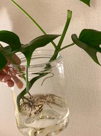 こちらのモンステラ、このまま植え替えした方が良いですか?形が広がりすぎていて、カットしてから植えようか迷っています。根はそのままにしたほうがよいか教えてください(*´ー`*)