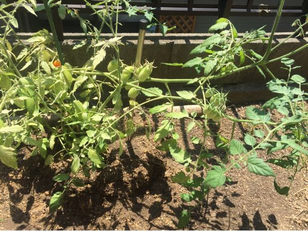 今年初めてアイコって トマトを植えました 野菜、花の土に化学肥料の 粒を混ぜて植えました 質問は葉が真緑ではなく 黄緑色しています 何が足らないのでしょうか?