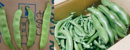 冷蔵庫にバカでかい枝豆みたいのがあったのですが、何という野菜だと思いますか? そら豆、モロッコインゲン、スナップエンドウの可能性がありますか?