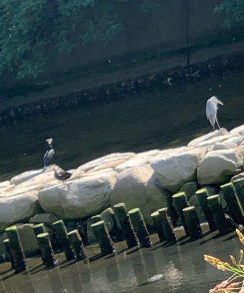 この鳥、なんの鳥か 分かる方、教えてください 都会の海にいました
