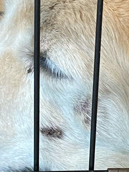 飼っている犬の顔に黒く乾燥したようなできものがあるのですが、だんだん酷くなってきているようなのですがこれは治らないものでしょうか?その付近にもアザのようなものもあって心配です。 詳しい方教えていただけると幸いです。