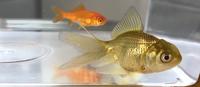 金魚すくいでもらったんですがこの金魚はなんていう種類ですか??