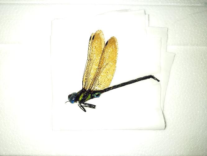 これって何ヤンマですか? 三浦半島で採りました 大きさは8~9cmです