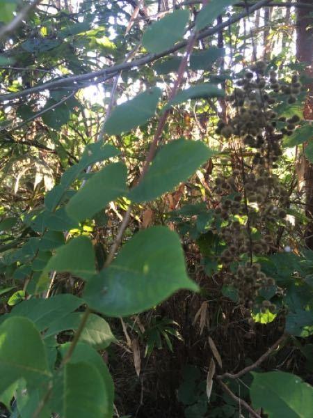 植物の名前 木の名前 昔から家の近くに生えています。 冬になると実殻が外れ白く小さい葡萄のようになり、とても綺麗です。 何の木なのでしょうか。