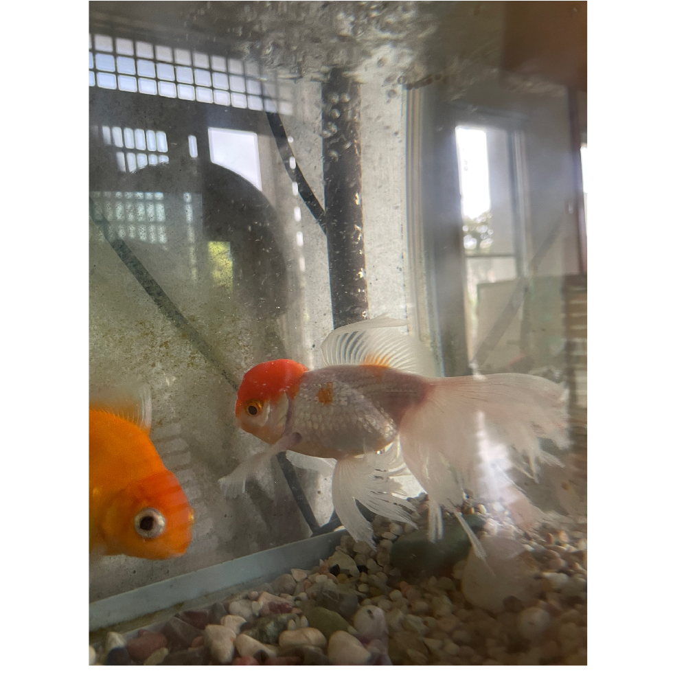 至急教えてください( ; ; ) 2段上下で水槽をおいており 上にザリガニと下に金魚で育ててました! 昨日は問題なかったのですが 朝!見たらザリガニが下におり 金魚の尻尾がズタズタになってました!!(;o;) うちには小さい子供しかおらず 水槽はさわれません。 何故ザリガニが下の水槽にいたのか 本っっっ当謎なんです。 この金魚は一番長く買っており 他の金魚より体も大きく いじめられる、いじめるなど 一度もみておらず 昨日までは仲良く泳いでたので 昨日の今日でズタズタにされるなんてあり得ないと思ってます。 この尾びれが切られてる金魚は 隔離して塩浴させたほうがいいのでしょうか? それともそのまま様子見てもいいのか、、 弱ってるときに 他の金魚にいじめられるなんてことは、、 お願いします。 誰か回答お願いします!!!! 一番可愛い金魚です