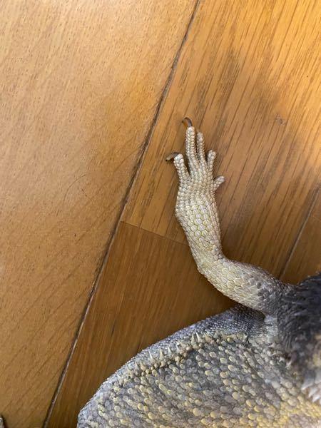 うちで飼っているフトアゴの写真です。 今朝起きて餌をあげようとしたら手が歪んで膨らんでいるような感じになってました。折れてしまっていたりするのでしょうか?その場合対処法などを教えていただければ幸いです。
