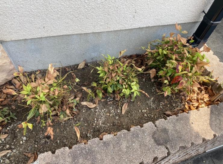オタフクナンテンを植えて、3か月になりますが、全体的に枯れてきました。 何か復活させる手がありますでしょうか? 暑くなってきた頃から、葉が萎れてきたので、毎夕水遣りをしています。 よろしくお願いします。