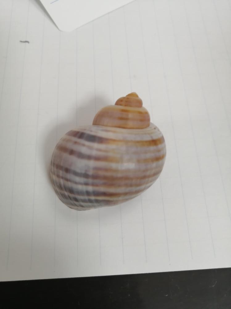 この貝の名前を教えて下さい。
