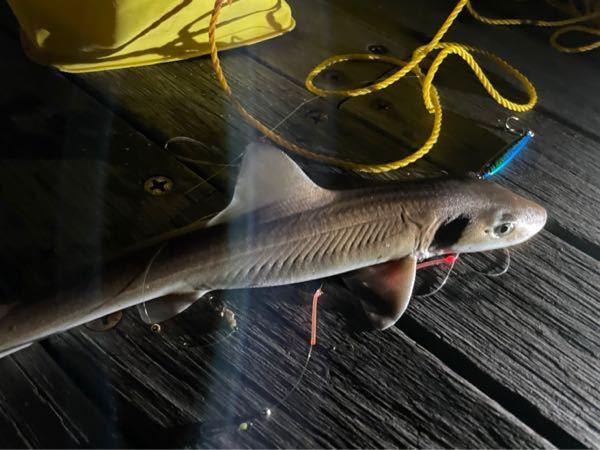 釣った魚の名前がわからないので教えて下さい。夜に防波堤から投げ釣りをしていて釣れました。サメかなと思うのですが名前がわかりません。よろしくお願いします。