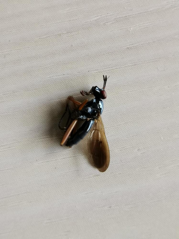 家の中に画像のような昆虫がいたのですが白アリでしょうか?
