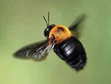 クマンバチは危険ですか?