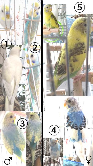 【セキセイインコ5羽のカラーと子供が生まれた場合のカラー 】 ニ四和田様に教えて頂けると嬉しいです。 nishida_higashi セキセイインコ 我が家現在5羽います。 ①ダブルファクタースパングルクリーム? (黒目、顔は黄色で羽ほぼ白少し薄い黄色。お腹は薄い水色) ②イエローフェイスオパーリングレーウイングスカイブルー (パステルレインボーとして売られていました) ③イエローフェイスシングルファクター(スパングル?)スカイブルー (この子もパステルレインボーとして販売されていました) ④パイドのスカイブルー? (肩から斑にブルー) ⑤所謂黄色ハルクイン?ドミナントパイド? (お腹から下が緑) ①②③の子はオス、④⑤の子はメスです 今、 ①→⑤、 ③→④、 ③→⑤の相性が良いです。 上記パターンで生まれてくる子のカラーの予想をお願いしたいです。 グリーン系ではなくブルー、ホワイト、シングルファクター、ダブルファクターの子を希望しています。おすすめのペアはいますか? ①と⑤のペアからハルクインが生まれる可能性があるかも合わせて質問させて頂きます。 長文になり失礼致します。 お忙しい中恐縮ですが、お知恵をお借りできれば嬉しいです。宜しくお願いします。