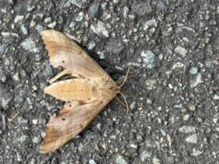 閲覧注意 この蛾ってなんていう蛾ですか?