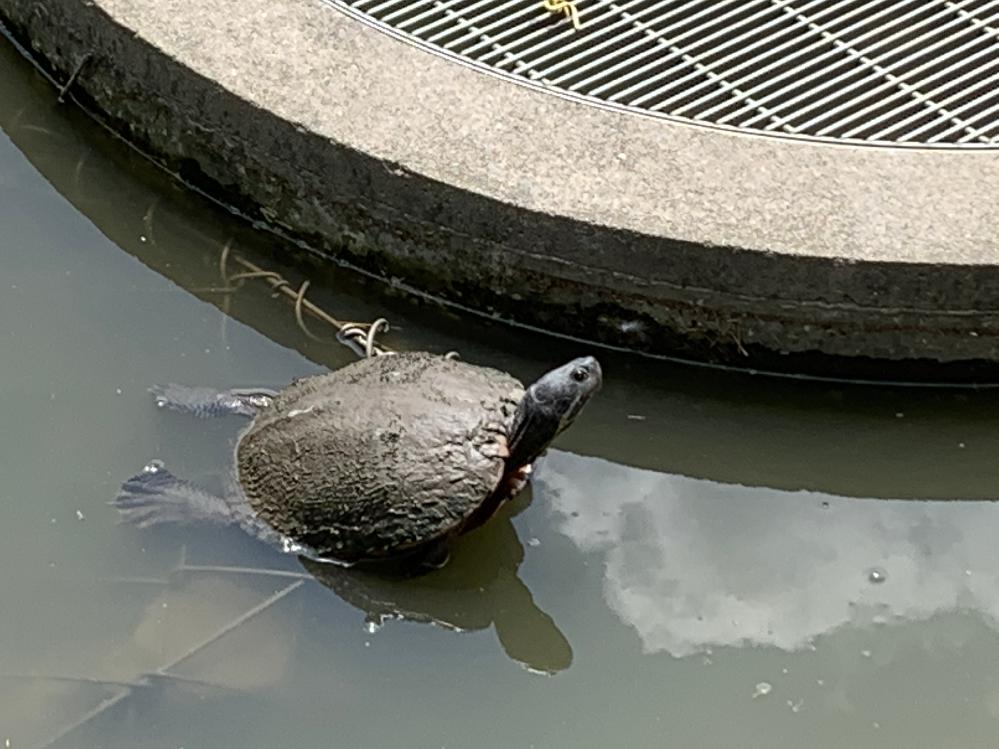 この亀の名前を教えてください。 ミシシッピアカミミガメ?