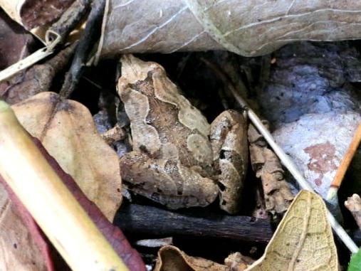 このカエルの名前教えて下さい。