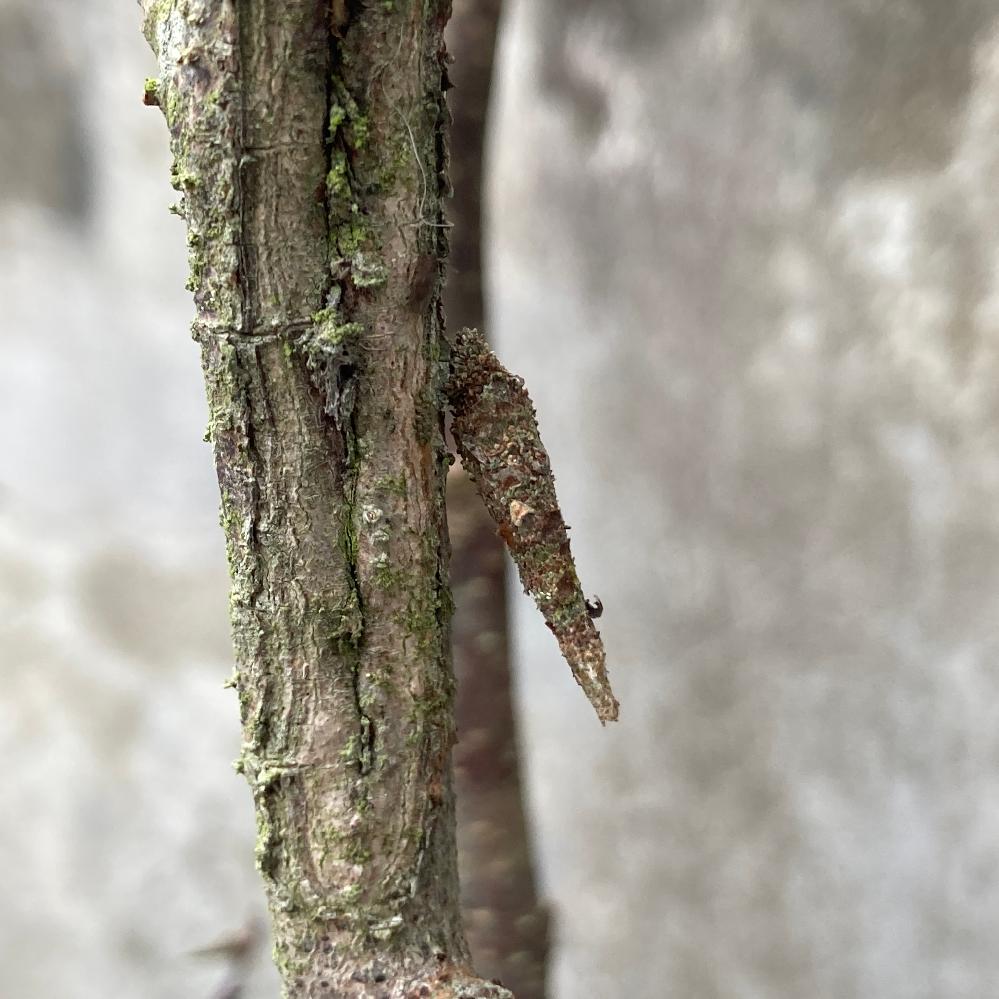 木の枝に斜めに生えた枝やトゲのように見えますが微かに動くので生き物であることは間違いないと思いますが調べてもわかりません。 何か虫の蛹でしょうか? 大きさは1cmくらいのものから3cm近くのものまであり、大量に発生しています…