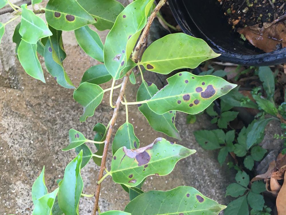 ソヨゴの葉に黒い斑点があります、これはなんですか?