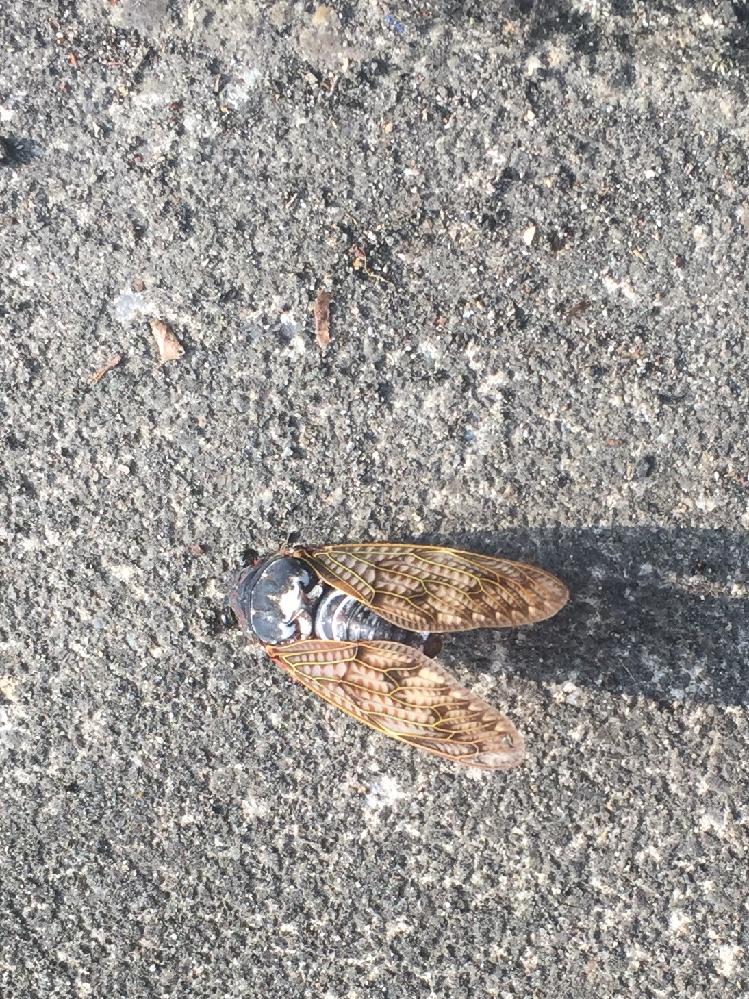 この蝉は? 回答お願いします。