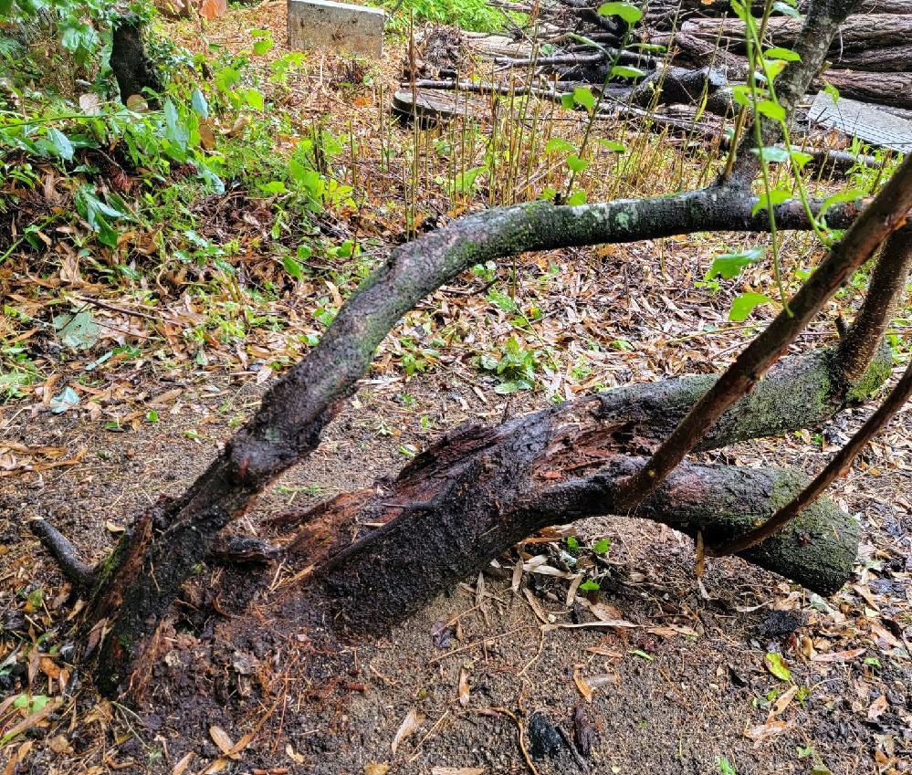 この木はプラムの木です。毎年収穫ができます。 しかし、幹がダメージを受けています。写真をご確認ください。 切り倒すべきでしょうか。それとも生かしておくべきでしょうか。 生かすとすればどのような手当をするのが有効でしょうか。