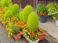 写真の丸っこい植物の名前は何と言いますか? 群馬県で見かけました。