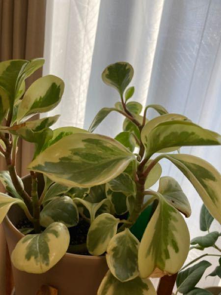 IKEAでペペロミアと表記されているものを購入し、長らく育てているのですが最近になってペペロミアには数種類あることを知りました。 模様的にはペペロミアセルペンスだと思ったのですが、今日園芸屋でペペロミアセルペンスを触った所全く葉の厚さが違います 家にあるのは肉厚で幹も太いのですが、コレはなんなのでしょうか… ちなみにIKEAにあったペペロミアは全て葉が分厚い同じ種類でした。
