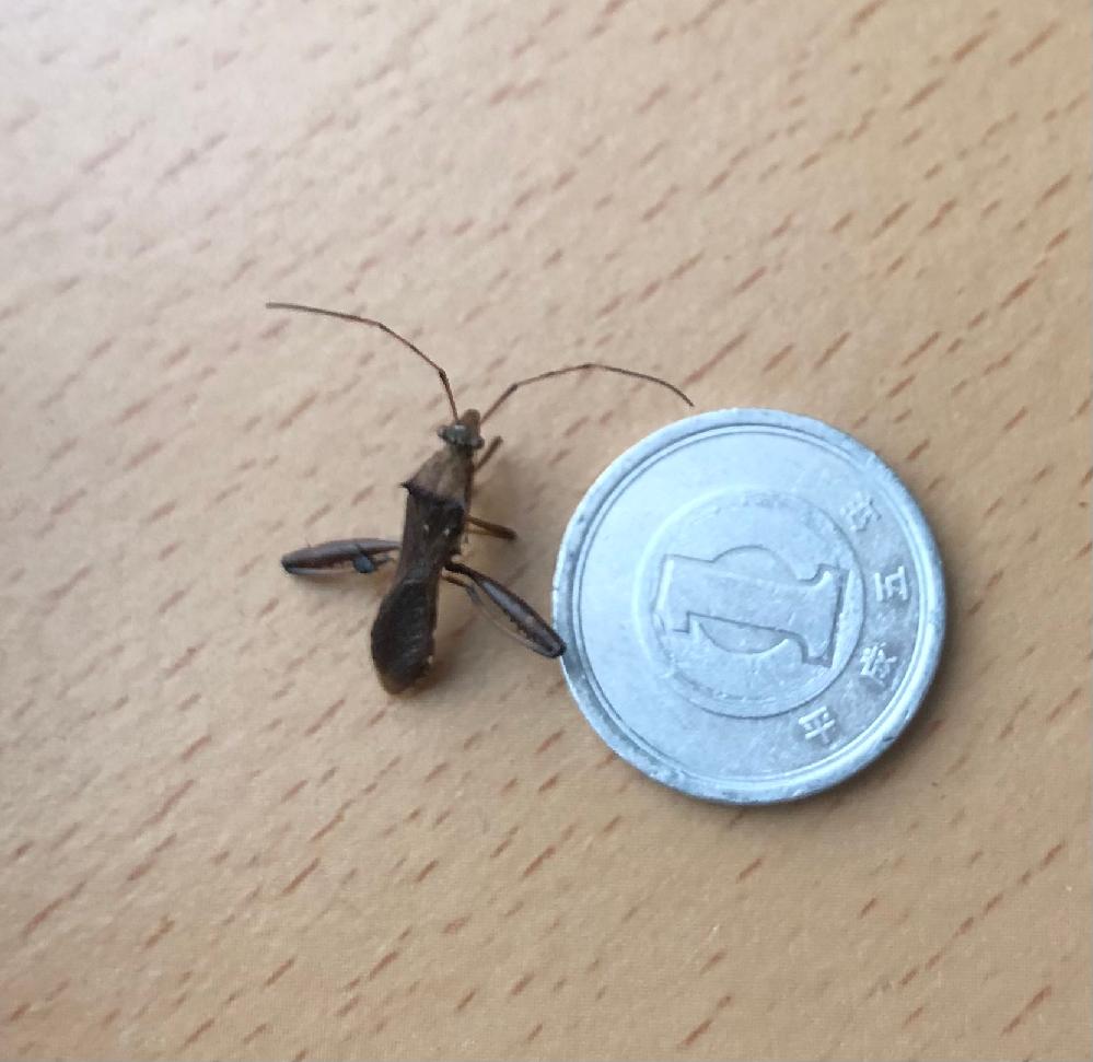 この虫はカミキリ虫でしょうか? 布団の隅に干からびてるのを発見しました。 カミキリ虫にしてはちょっと違うようにも見えるので、どなたか分かる方、教えて下さい