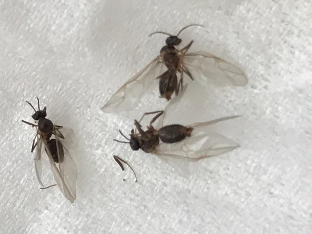 この羽蟻ぽっいのは、シロアリでしょうか、クロアリでしょうか?
