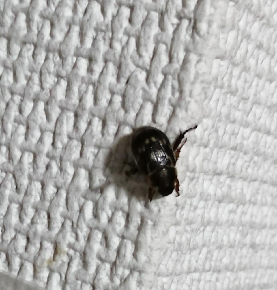 画像の 虫は何という名前ですか? ここ最近 毎日一日一匹は家の中にいます。 大きさは7、8 mm くらいです。