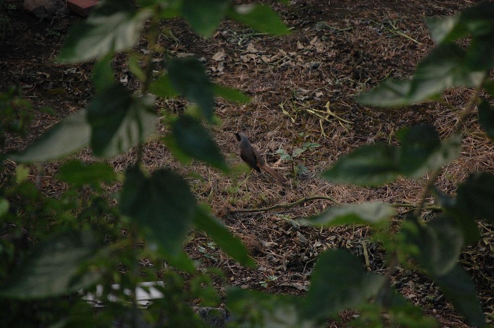 この野鳥の名前を教えてください。 最近、家の前の雑木林に来ます。 はとくらいの大きさでゲオーッゲオーッ!と大きい声で鳴きます。