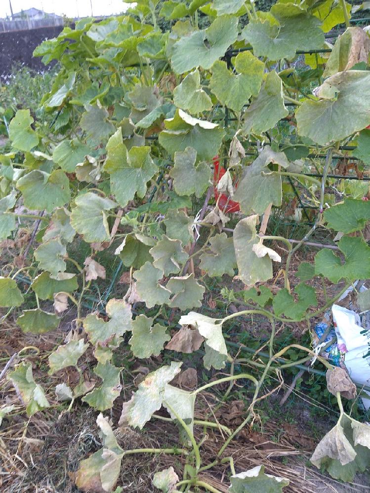 家庭菜園でカボチャを作ってます。7月中旬から雨が降らず畑がカラカラになり、カボチャの葉っぱが萎れてきました。うどん粉病にもなってしまったようで、最近は、夕方の水やりを多めにしています。 これからの対策は、どうしたらよいか教えて下さい。