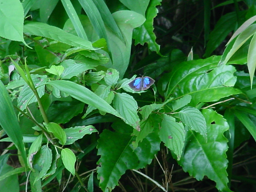 美しいチョウですが名前を教えてください。 関東地方。