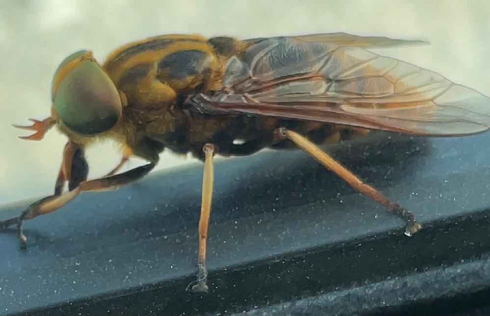 画像のアブは何という種類のアブなのでしょうか? 最近スズメバチのような見た目のアブが車によってたかってきて困っています。 こんな大きいアブに噛まれたらひとたまりもないと思うので、アブに噛まれないような対策も教えていただけると助かります。