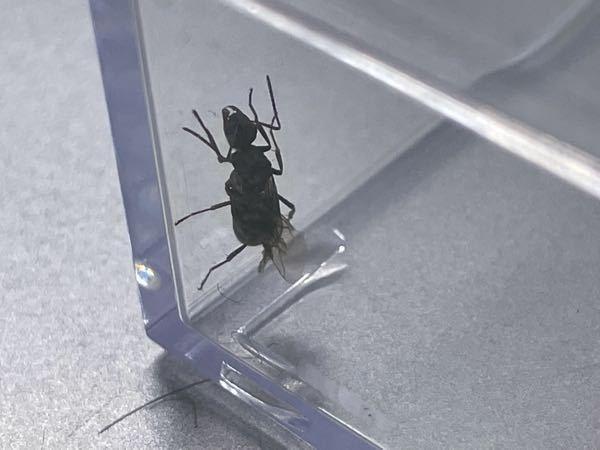公園のベンチで羽アリが足に止まったことから捕まえました。 こちらの羽アリは雄アリと女王アリのどちらでしょうか? ご存知の方居られましたら回答をお願い致します!