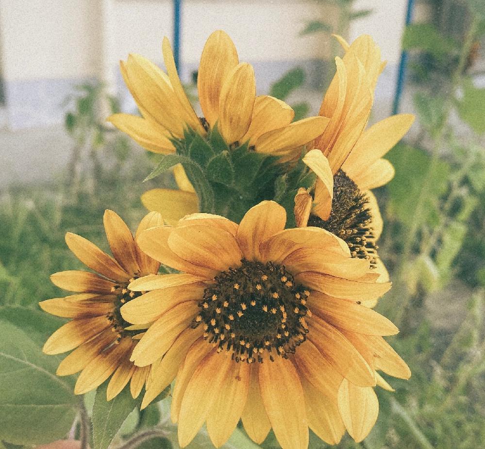 初めて質問させていただきます。 先日、植えていた向日葵がこのような咲き方をしたのですが、通常向日葵はこのような咲き方をするのでしょうか? 種類を調べようと思ったのですが、発見できなかったのでお知りの方教えて頂ければうれしいです。 参考画像もございます↓↓