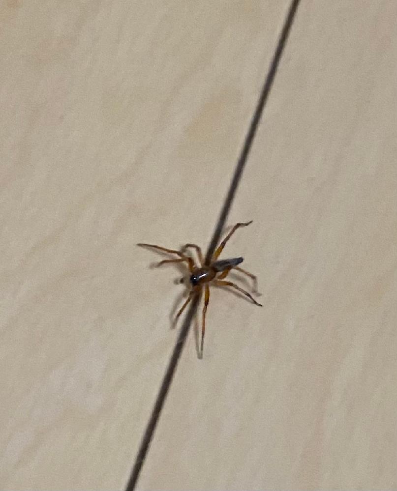 この蜘蛛はなんでしょう? 蜘蛛が大量にでる田舎ですがはじめてみました。