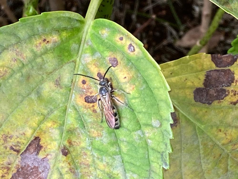 庭にこの虫が朝、よく飛んでいます。 危険ですか?蜂ですかね?教えてください。