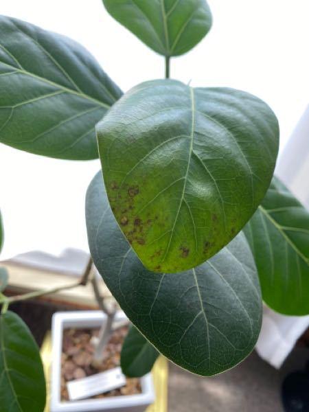 室内でフィカスベンガレンシスを育てています。 これは黒点病というやつでしょうか? 急にこの葉にだけ発生したのですが、どうしたら良いのでしょうか? 他の葉にも伝染してしまったら困るのでこの葉だけ切ってしまおうかと考えているのですが…