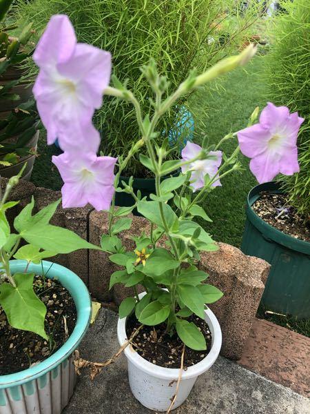 お花の名前、わかる方 教えてください。道端に咲いてました。宜しくお願いします。