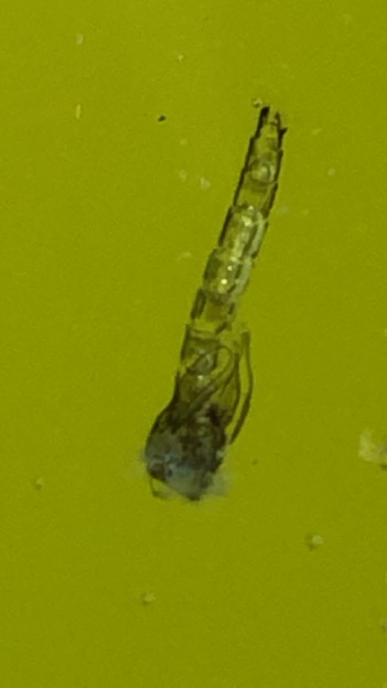 メダカの稚魚(孵化後1か月半)の水槽に死骸のようなものが頻繁に浮いてるのですが、これは何かわかりますか? 大きさは1㎝くらいです。 何かの幼虫のようにも見えますが、メダカが★になった残骸なのかもと心配になっています。