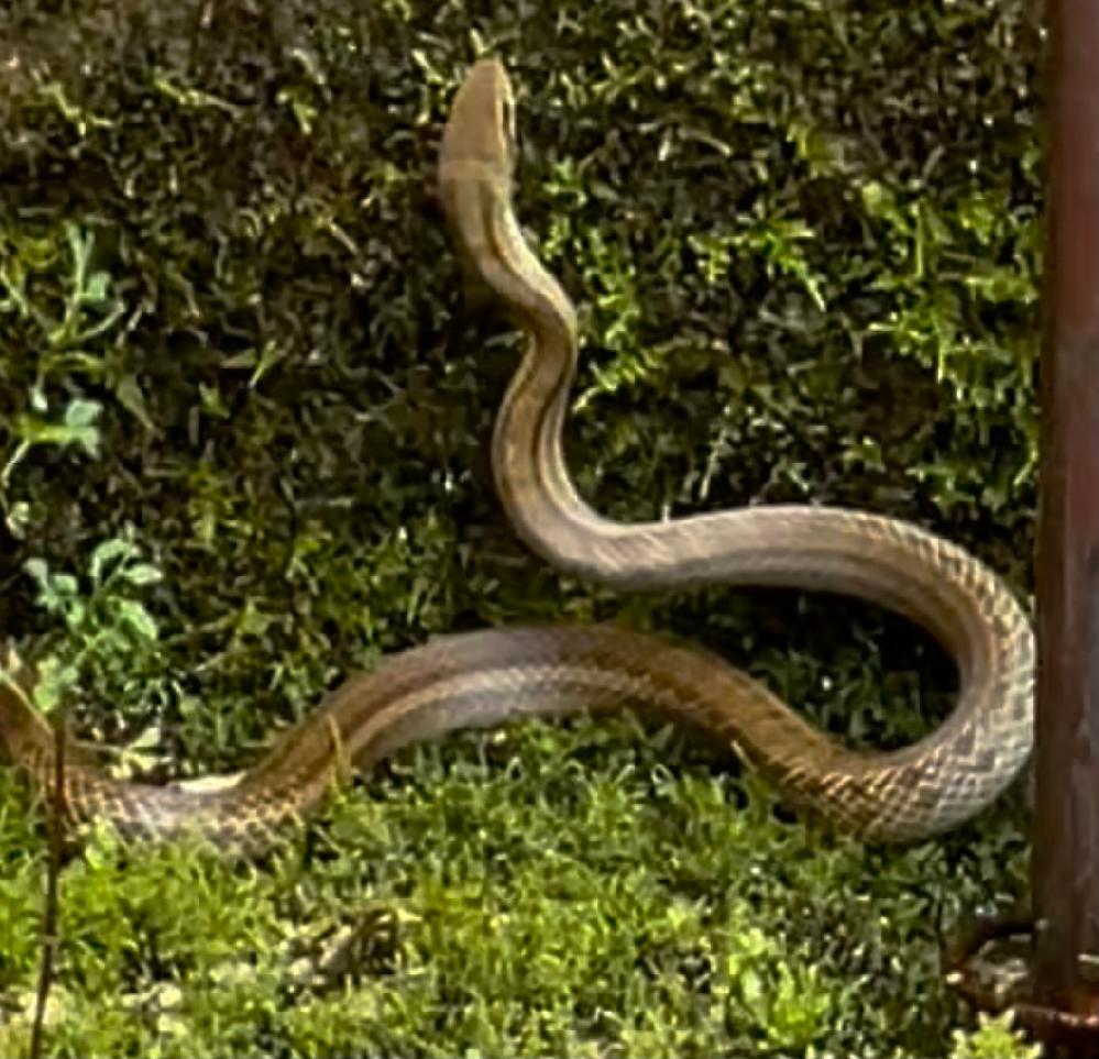 なんて言う蛇でしょうか?