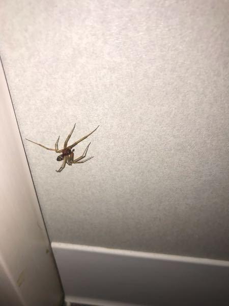 家の中に蜘蛛がいました。 ネットでちょっと調べてもこいつに似たやつがいなかったので、知ってる方教えてください。 大きさは2cmくらい、動きはあまり早くなくトコトコ歩いてました。 害がなければ殺さないでおこうと思います。