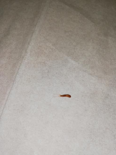 【虫注意】 家のなかにいました。 なんという虫ですか?