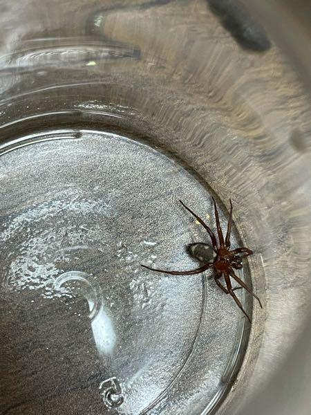 蜘蛛について質問です。 今日部屋でこのような蜘蛛を捕まえました。 いつもみる蜘蛛とは少し違うように感じて何グモなのか気になったので教えて欲しいです!