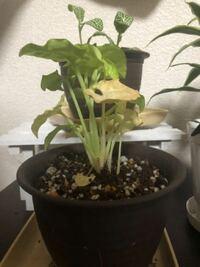 観葉植物のシンゴニウムを育てているのですが少しづつ葉が枯れていっています。色々なウェブサイトを見て対処をしているのですが、枯れていってしまうので、対処法があれば教えてください。