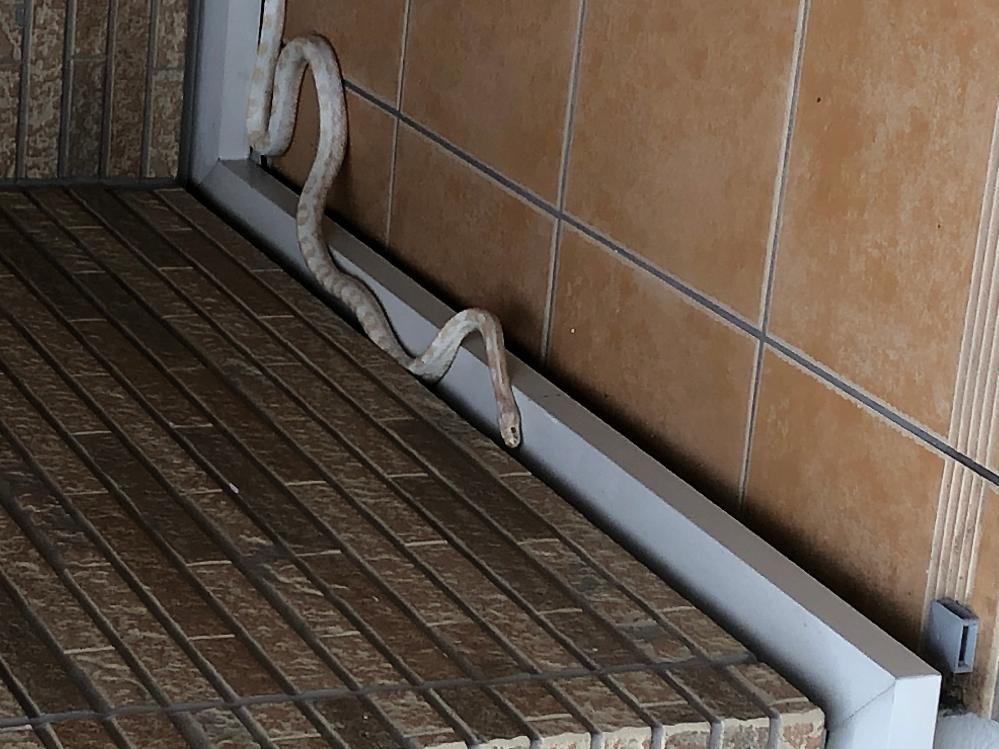 玄関に蛇が居てるのですが…この蛇の種類を教えていただけませんでしょうか?? 白色ベースで模様は黄色です… 子供が居てるのでマムシだったら嫌だなぁと。宜しくお願い致します。