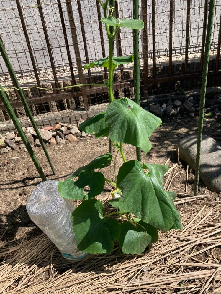 7月下旬に植えたきゅうりの萎れ 7月下旬に第二陣として植えたきゅうりですが、近頃昼間暑くなると写真のように萎れてしまいます。夕方水をあげると回復するのですが、これは正常でしょうか?もし病気だとす...