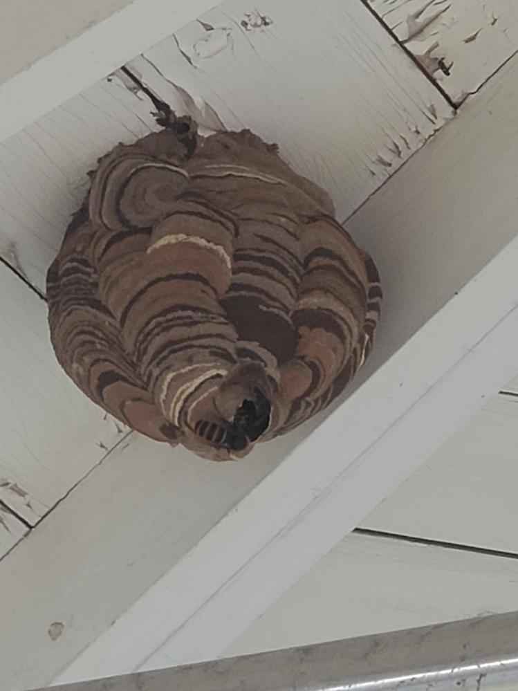 庭の焼き肉小屋出来てたのですが これは何スズメバチの巣ですか?? コガタスズメバチですか? そして 危険性はどうでしょうか? 今日5メール位離れて焼き肉した時は特に寄ってこなかったのですが 危険性がますあきぐちでも大丈夫でしょうか!?(;・∀・)