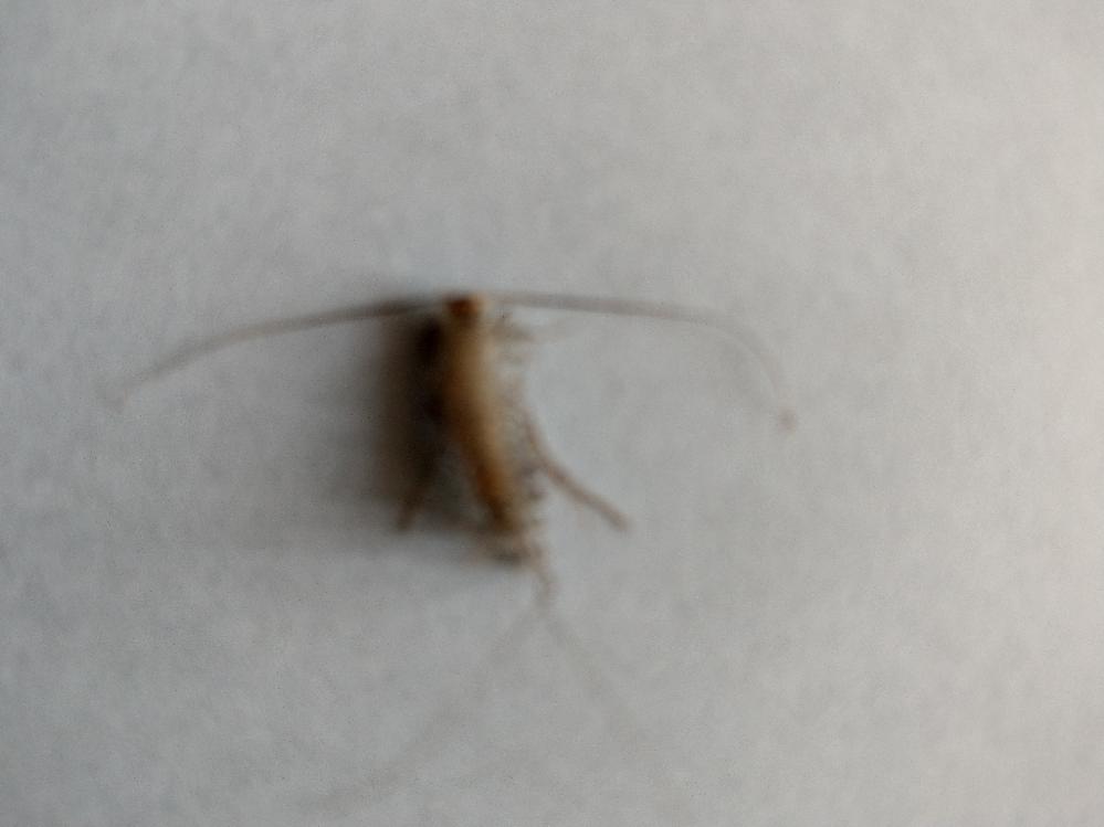 猫から落ちた虫なのですが、なんという虫なのか分かりません。 ご存知の方、教えてください。見づらい写真ですみません。